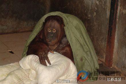 杭州野生动物世界的猩猩